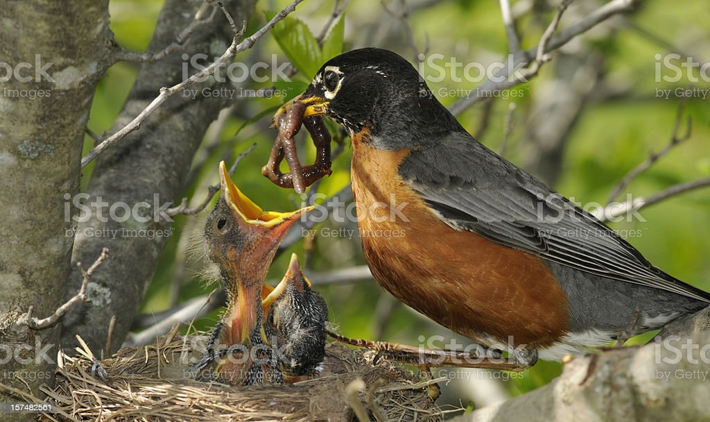 Mother Robin Feeds Worm to Her Hungry Babies stock photo