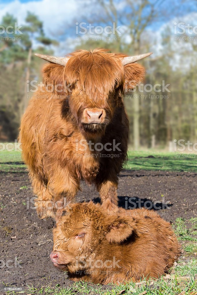 Mother scottish highlander cow standing near newborn calf stock photo