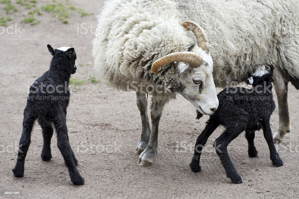 Mother sheep stock photo