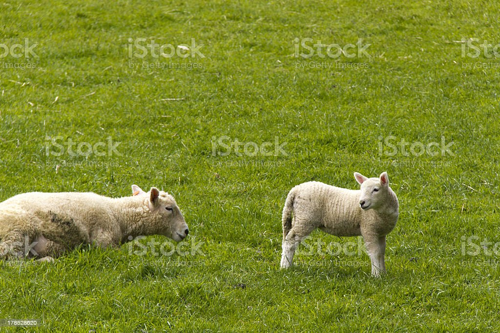 Mother sheep with lamb royalty-free stock photo