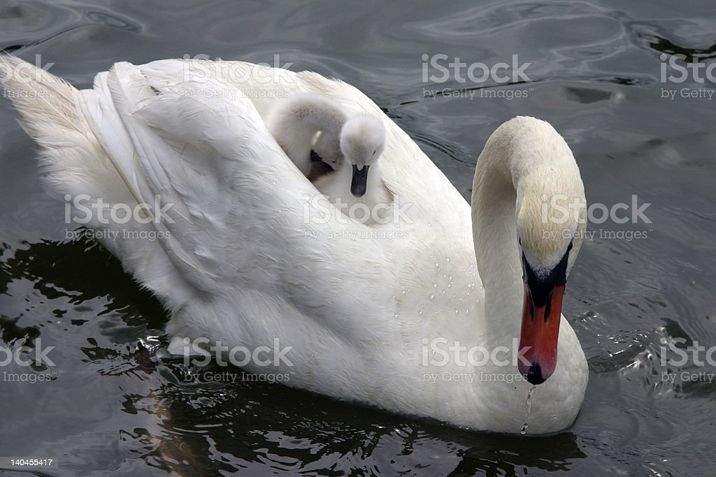 Mother swan royalty-free stock photo