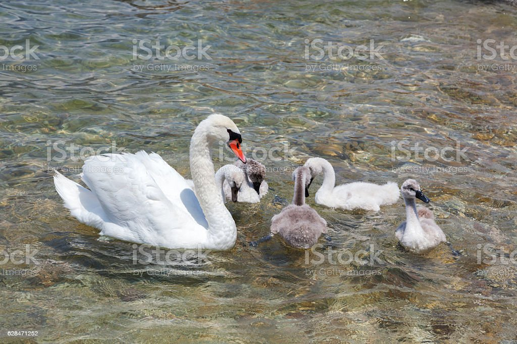 mother swan with babies stock photo