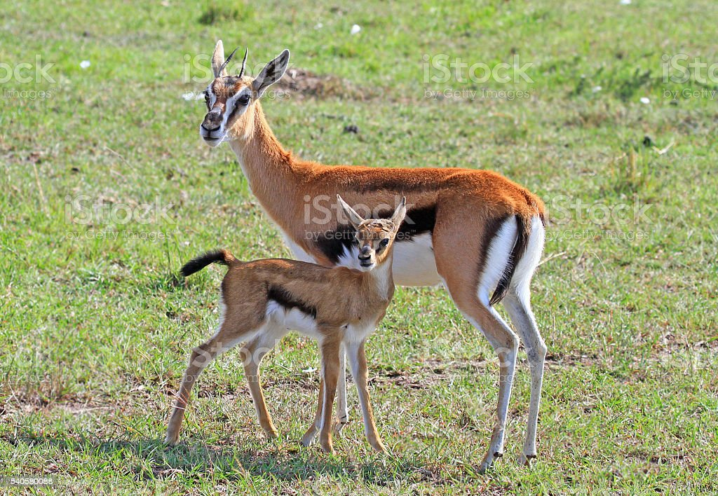 Mother Thomson Gazelle and her calf stock photo