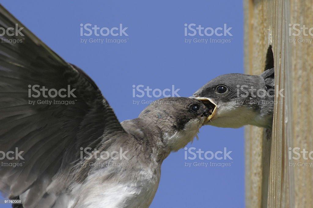 Mother Tree Swallow Feeding Baby royalty-free stock photo