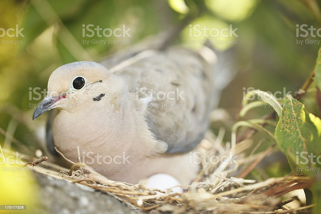 Mother Turtle Dove stock photo