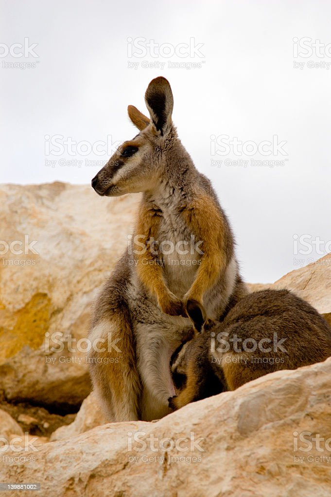 Mother Wallaby & Joey royalty-free stock photo