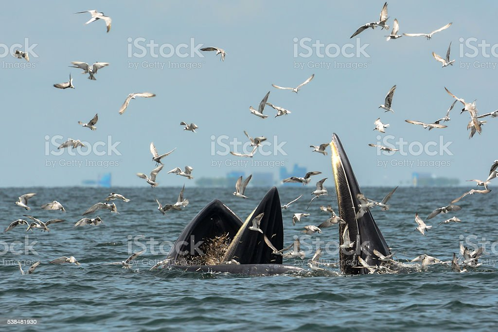 Mother whale and her calf are hunting shrimps stock photo