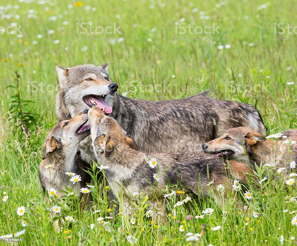 Mother wolf with three cubs on grassy meadow stock photo