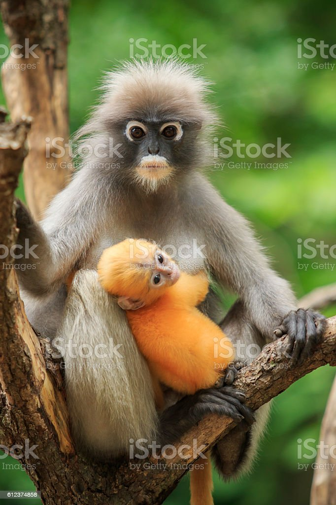 motherhood of Dusky leaf monkey, Dusky langur in southern of thailand stock photo