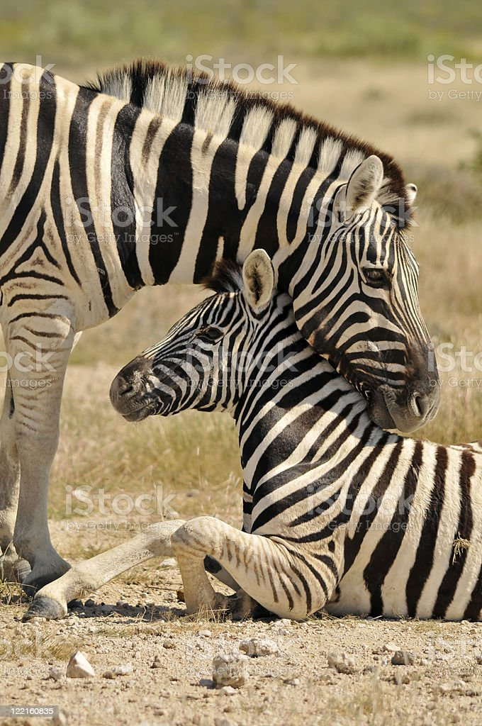 Motherly love: Zebra with foal stock photo