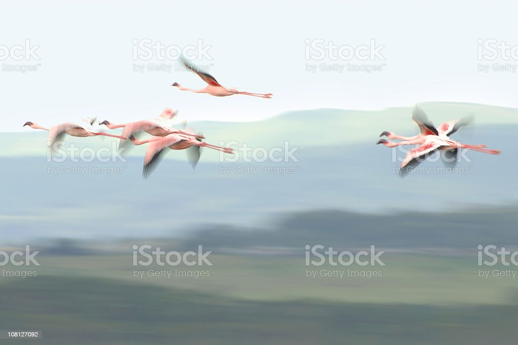 Motion Blur of Flamingos in Flight Outside royalty-free stock photo