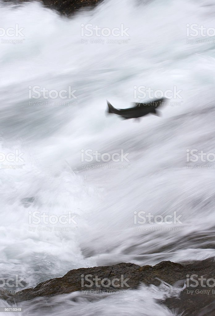 Motion-blurred chinook salmon stock photo