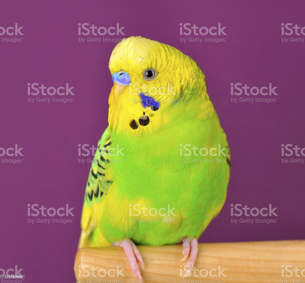 Motley budgerig parrot closeup perched on a stand royalty-free stock photo
