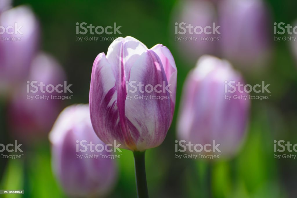 Motley flower of lilac tulip. stock photo