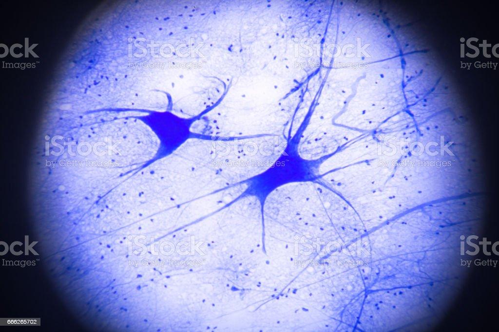 motor nerve cells in microscopy stock photo