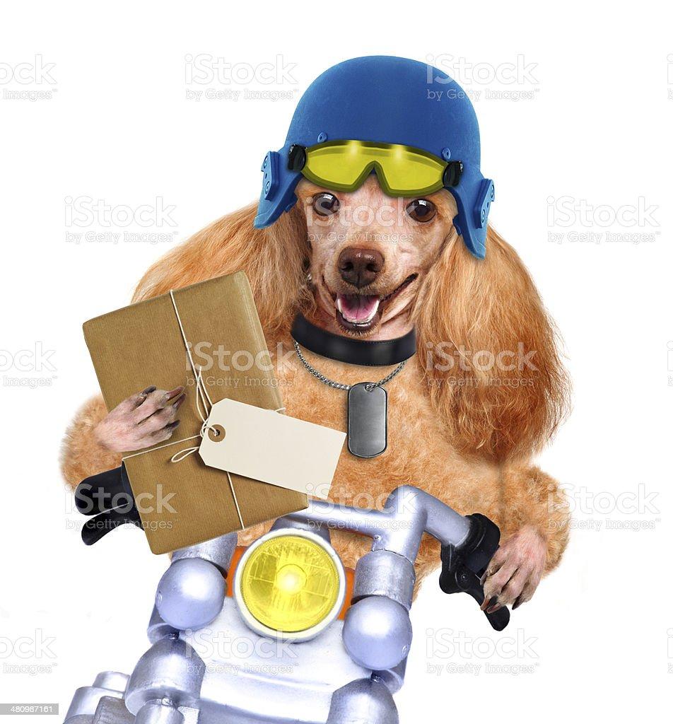 motorbike dog stock photo
