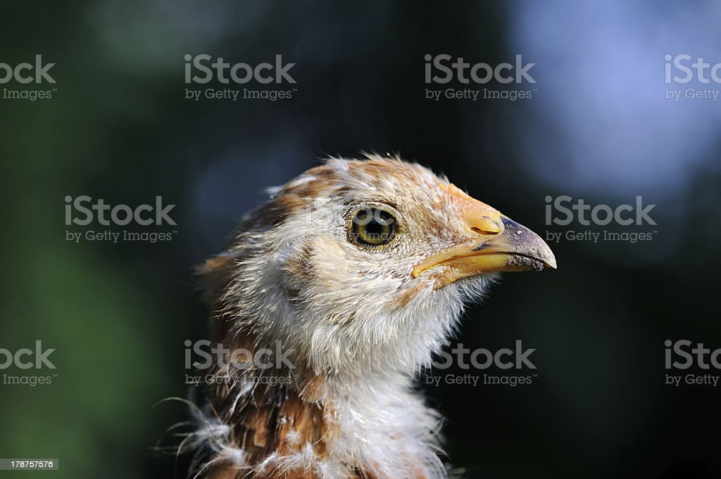 Mottled Baby Chicken Close-Up royalty-free stock photo