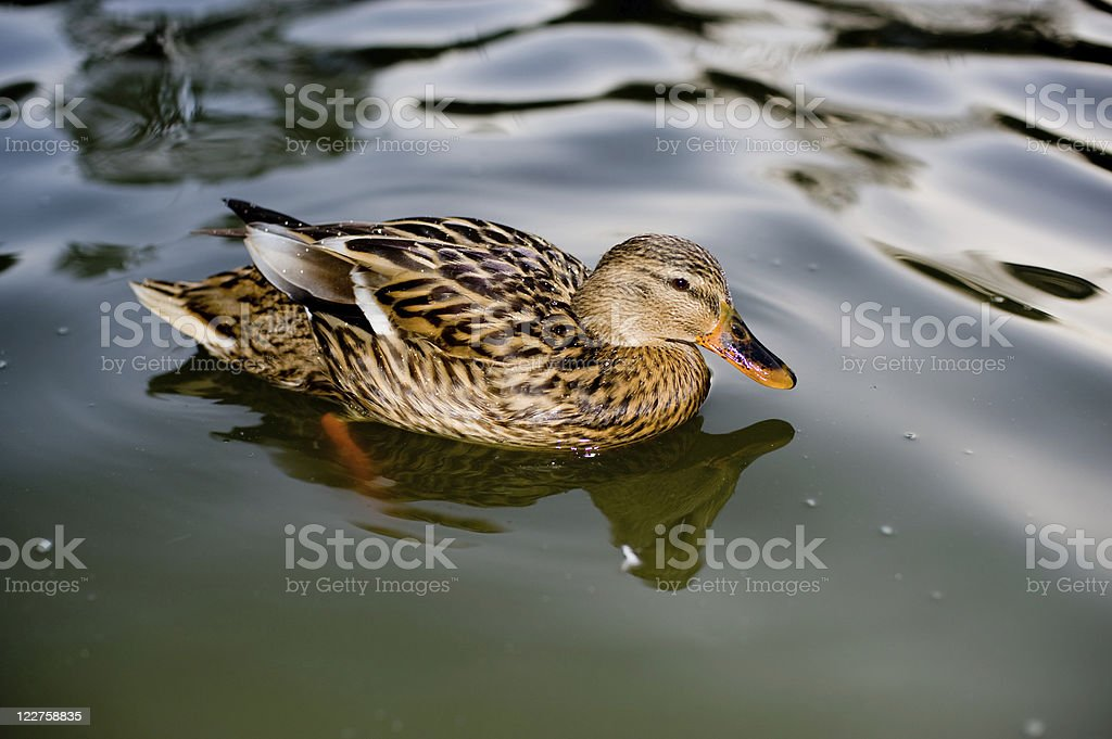 Mottled Duck royalty-free stock photo