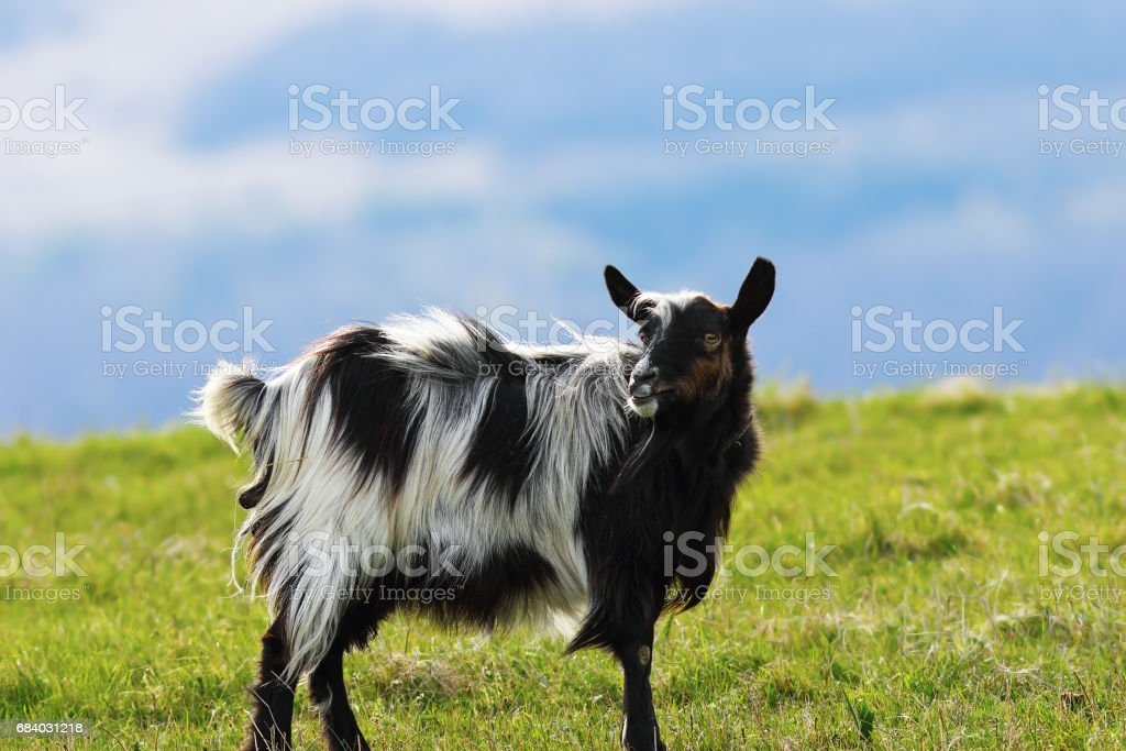 mottled goat standing on green lawn at the farm stock photo