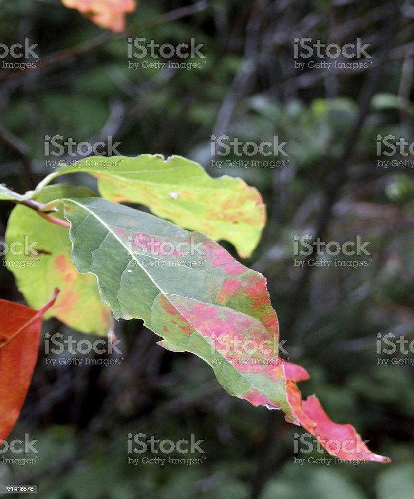 Mottled Leaf royalty-free stock photo