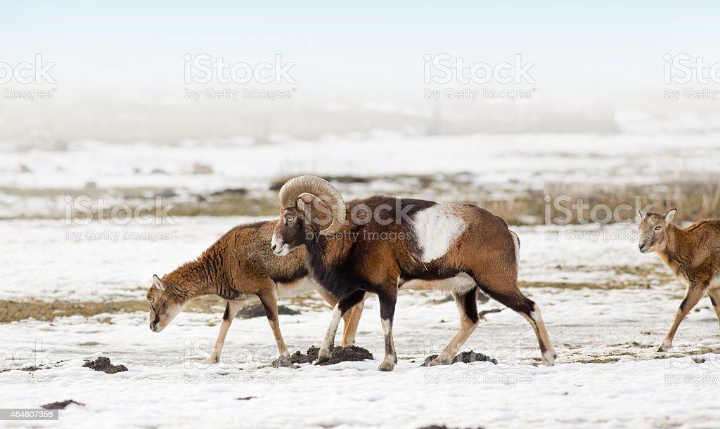 Mouflon herd stock photo