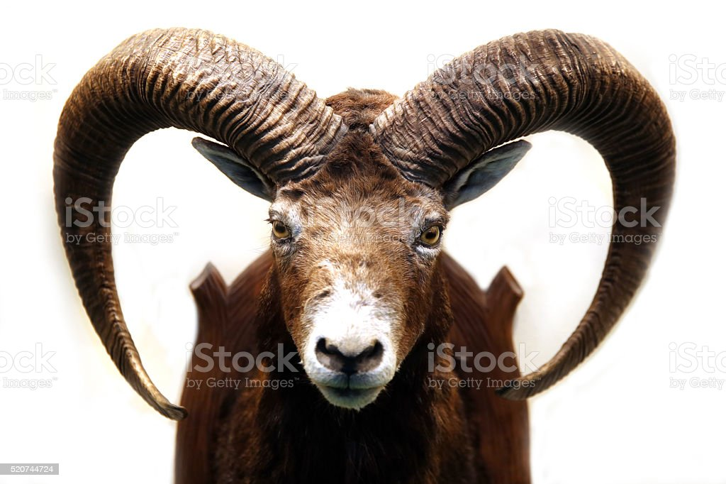 Mouflon hunting trophy isolated on white background stock photo