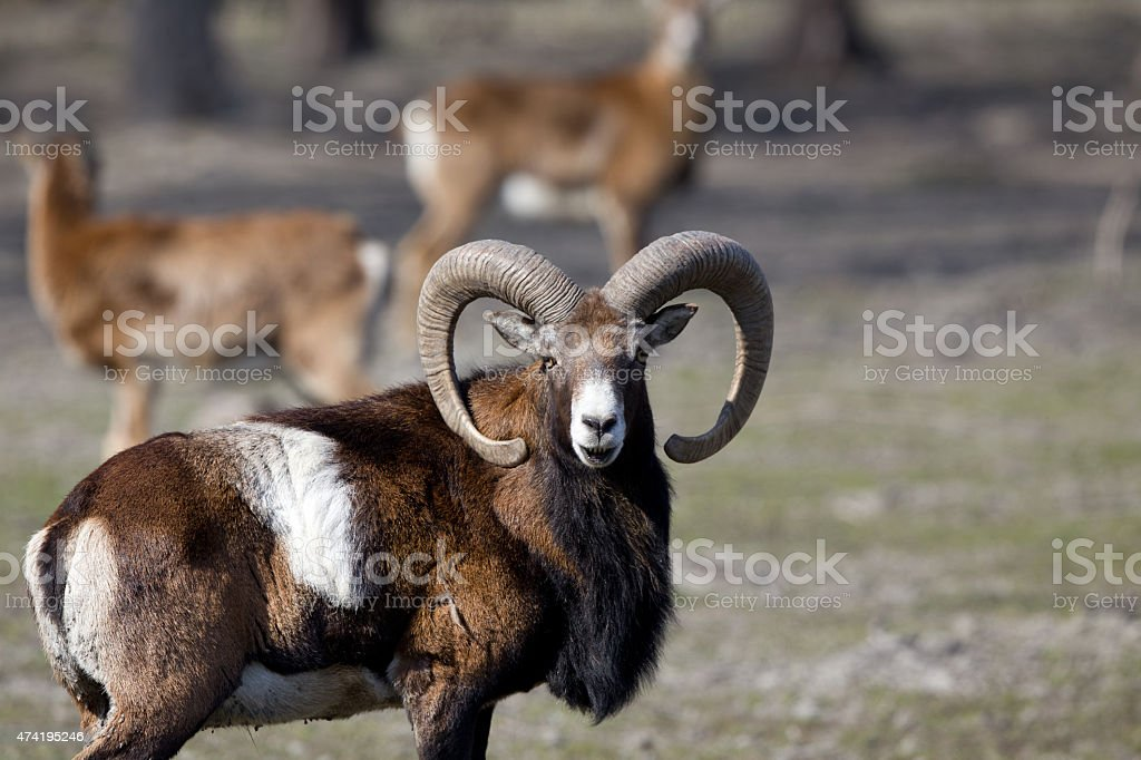 Mouflon looking at camera stock photo
