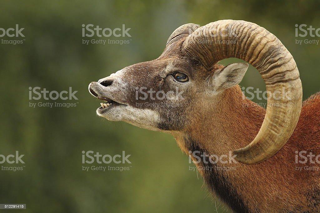 mouflon mating ritual stock photo