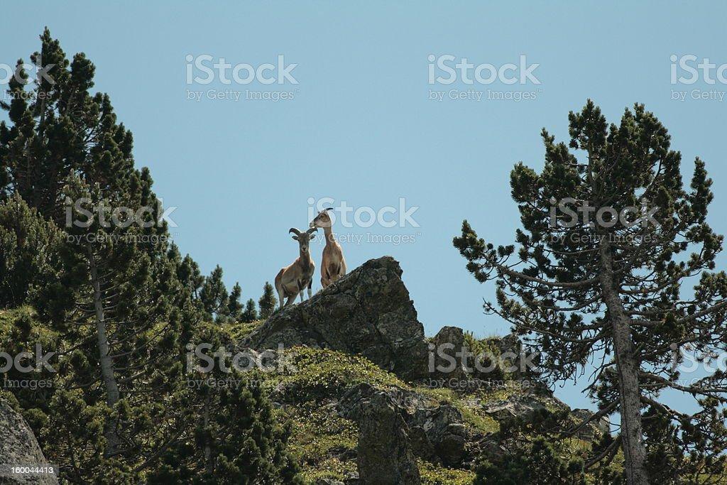 Mouflon or mountain sheep stock photo