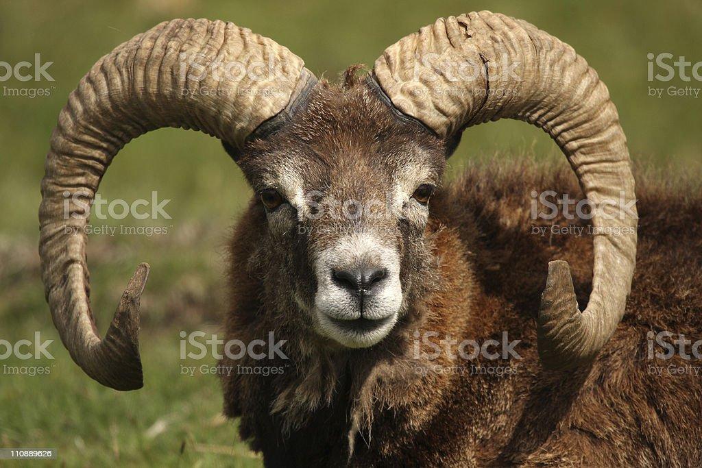 Mouflon royalty-free stock photo