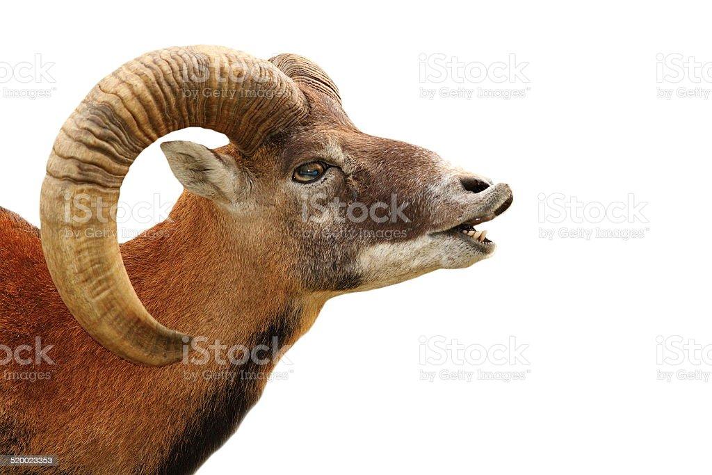 mouflon portrait on white stock photo
