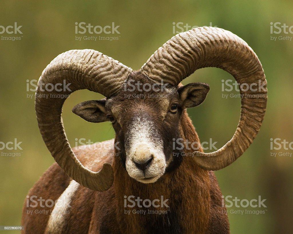 Mouflon Ram Close Up stock photo