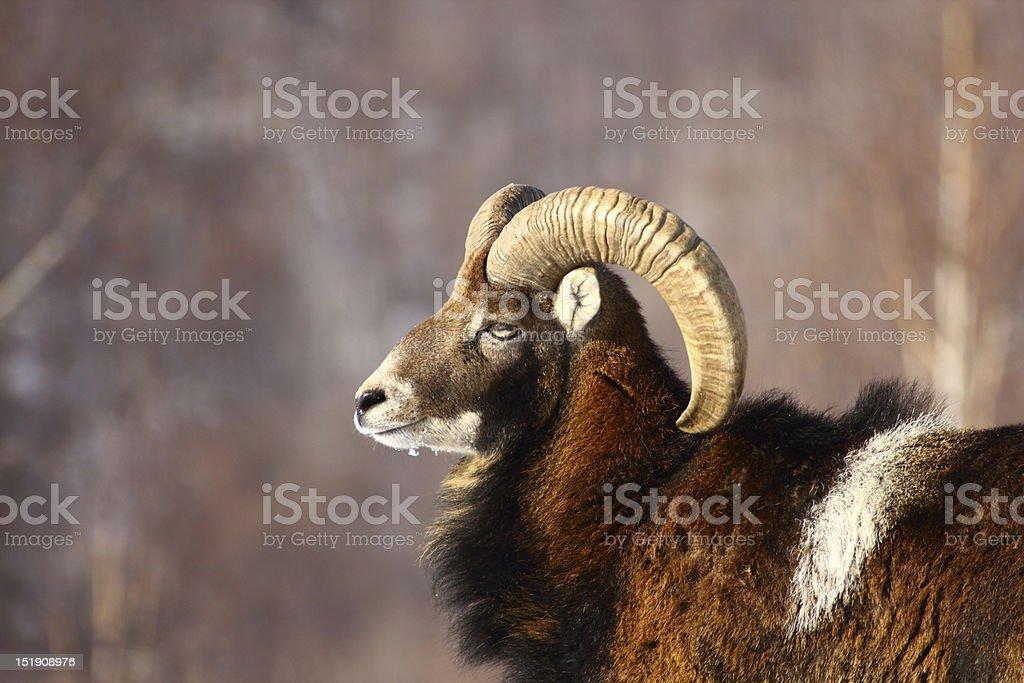 mouflon ram hunting stock photo