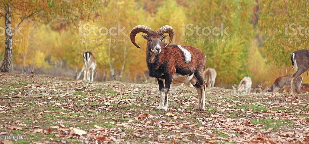 mouflon ram in autumn setting stock photo