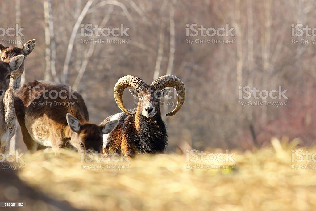 mouflon ram looking towards the camera stock photo