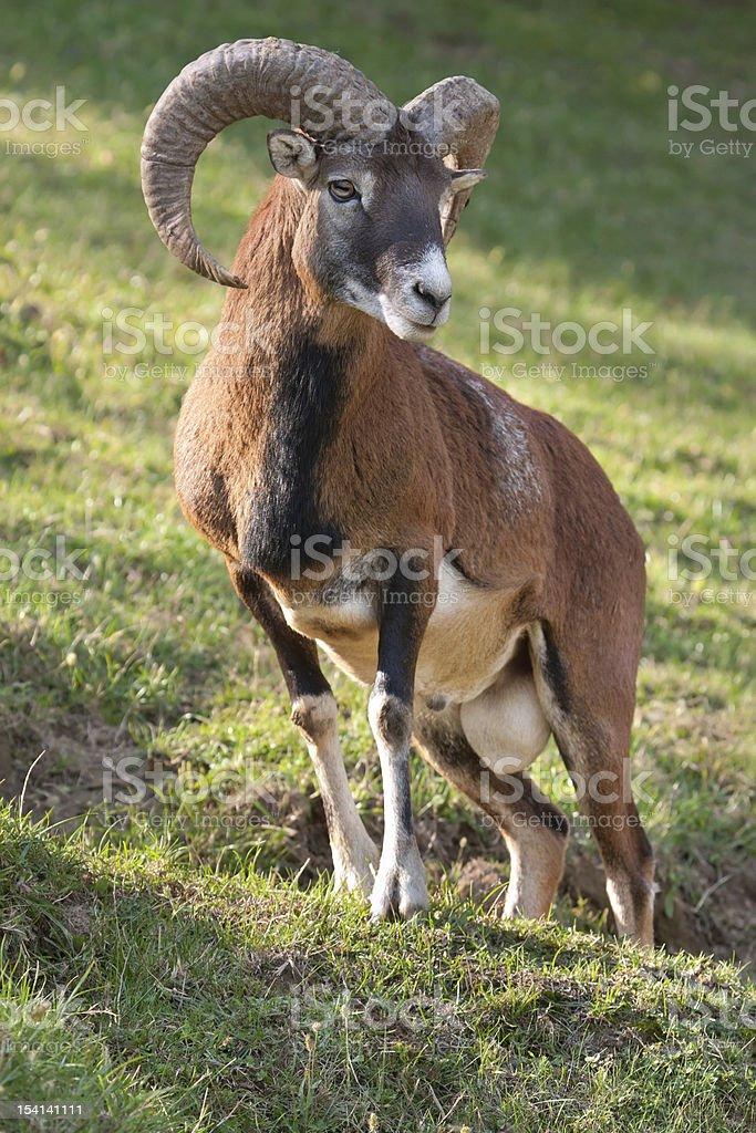 Mouflon ram stock photo