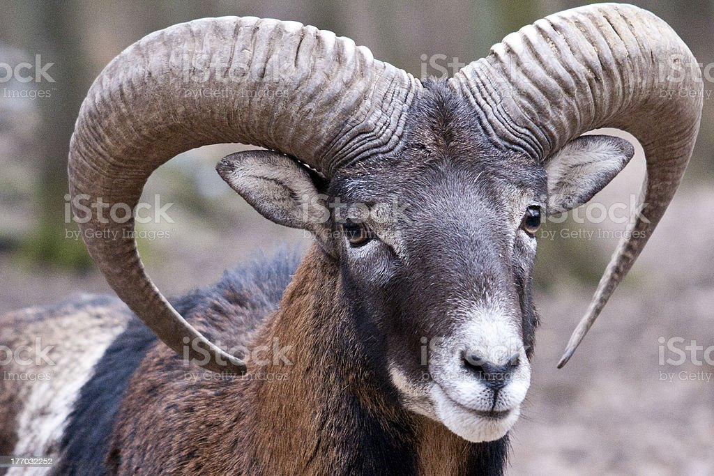 Mouflon Ram stock photo