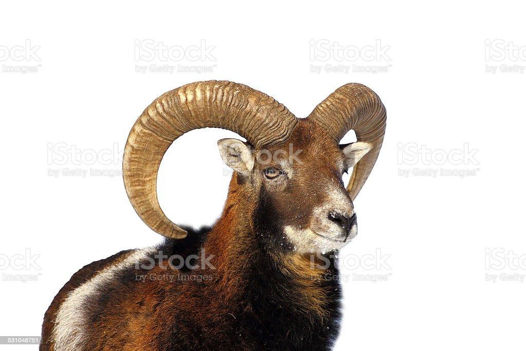 mouflon ram portrait stock photo