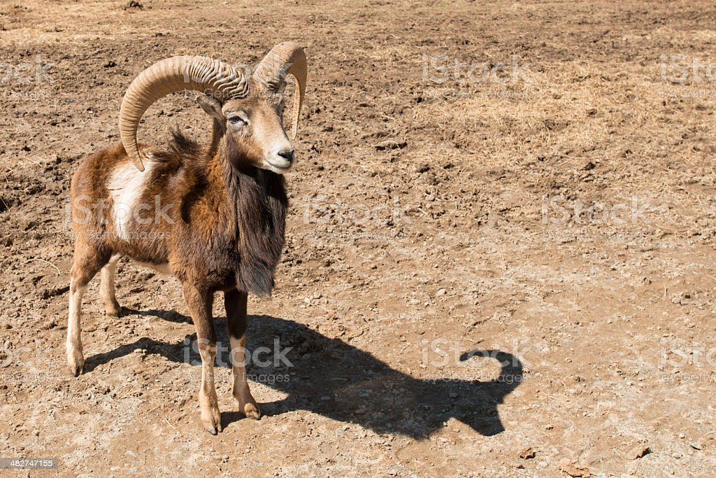 Mouflon sheep with a distinct shadow on dirt stock photo