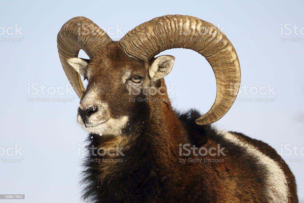 mouflon trophy stock photo
