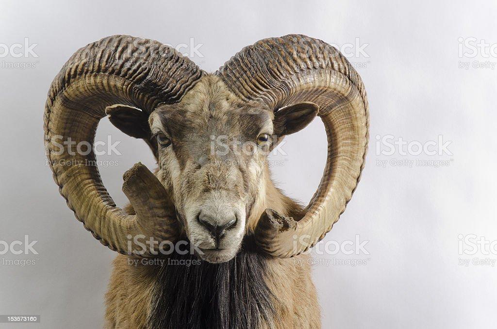 Mouflon Wild Sheep Taxidermy Mount stock photo