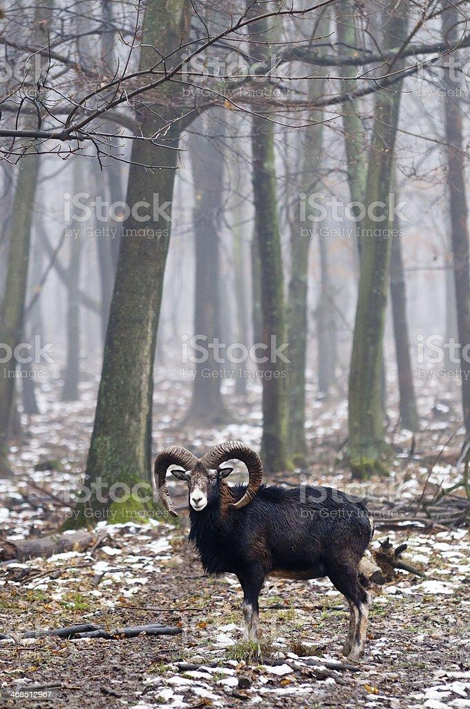 Mouflon with trees stock photo