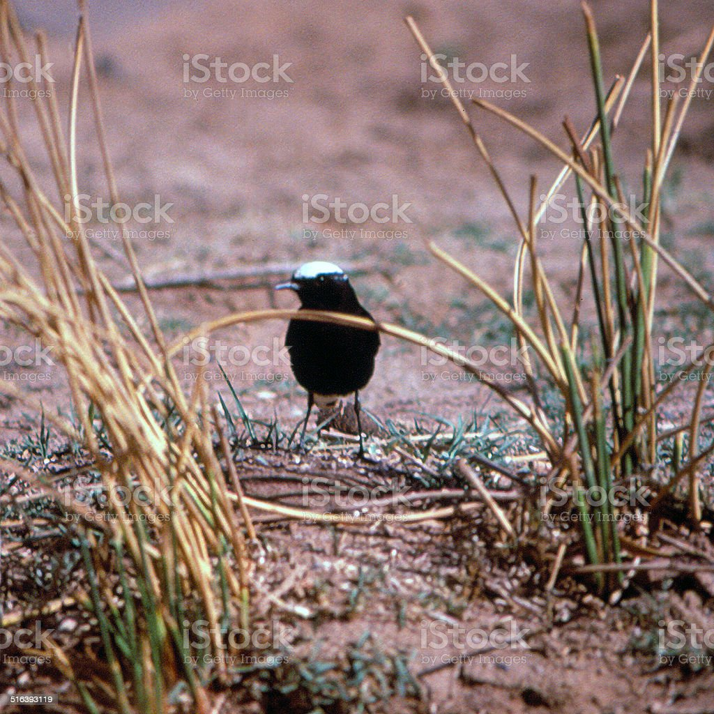 moula-moula stock photo