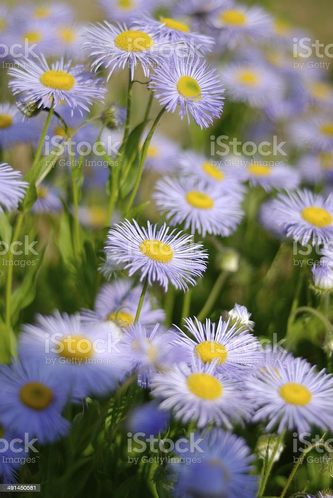 Berg Aster stock photo