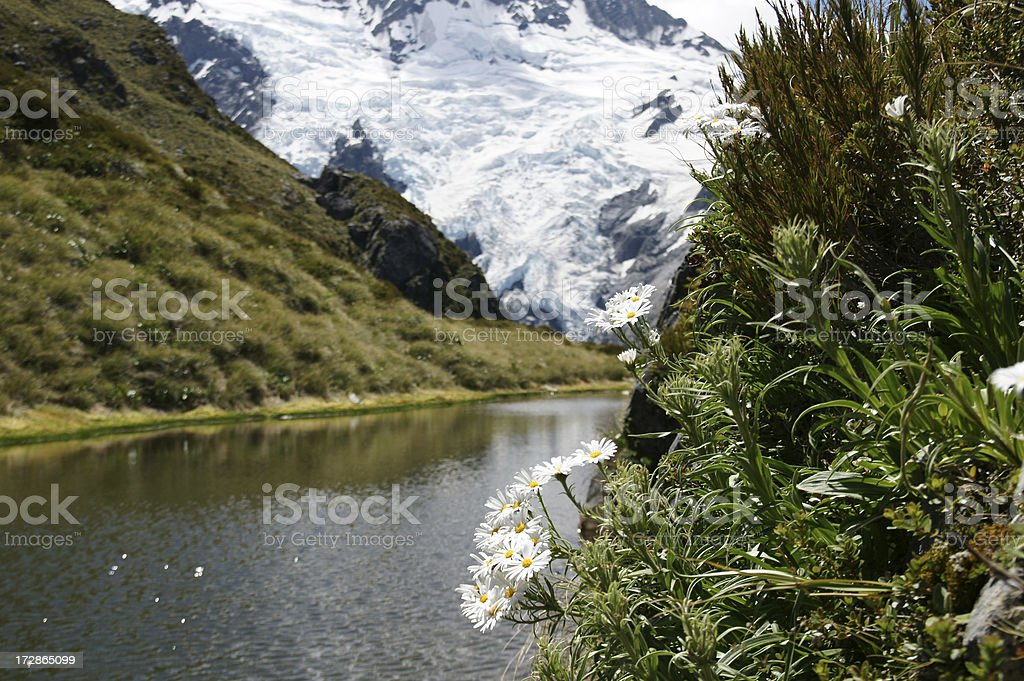 Mount Cook Lily close to the glacier. stock photo