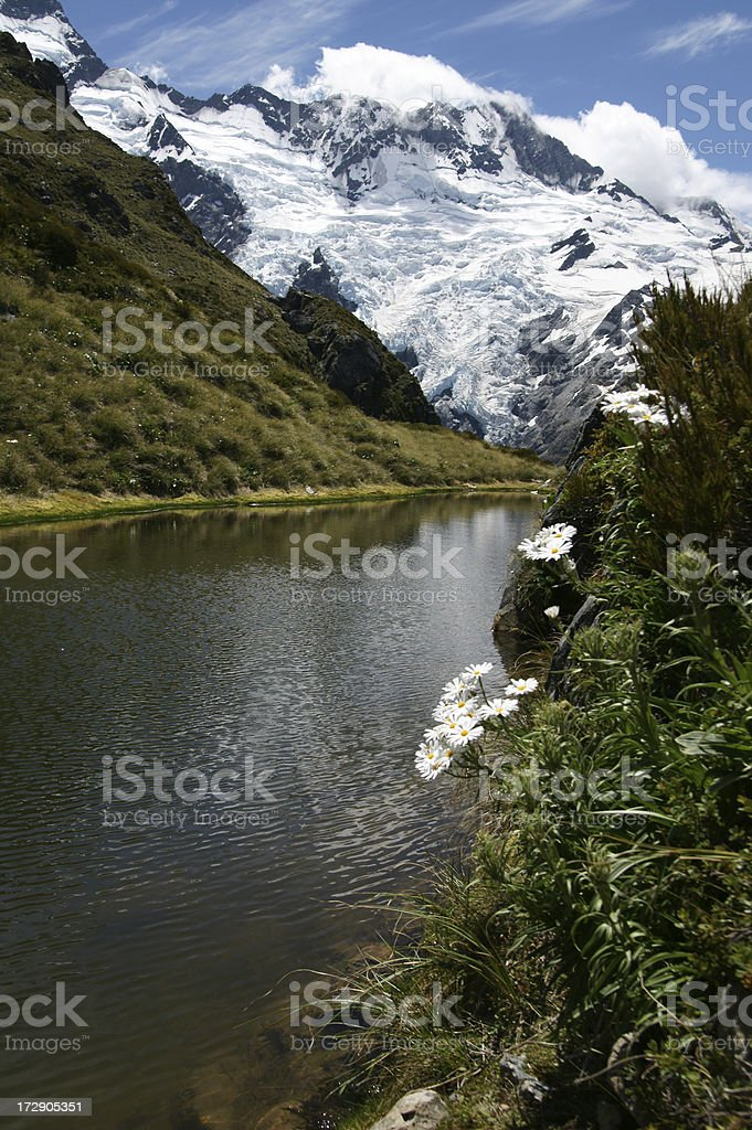 Mount Cook Lily near the small lake stock photo