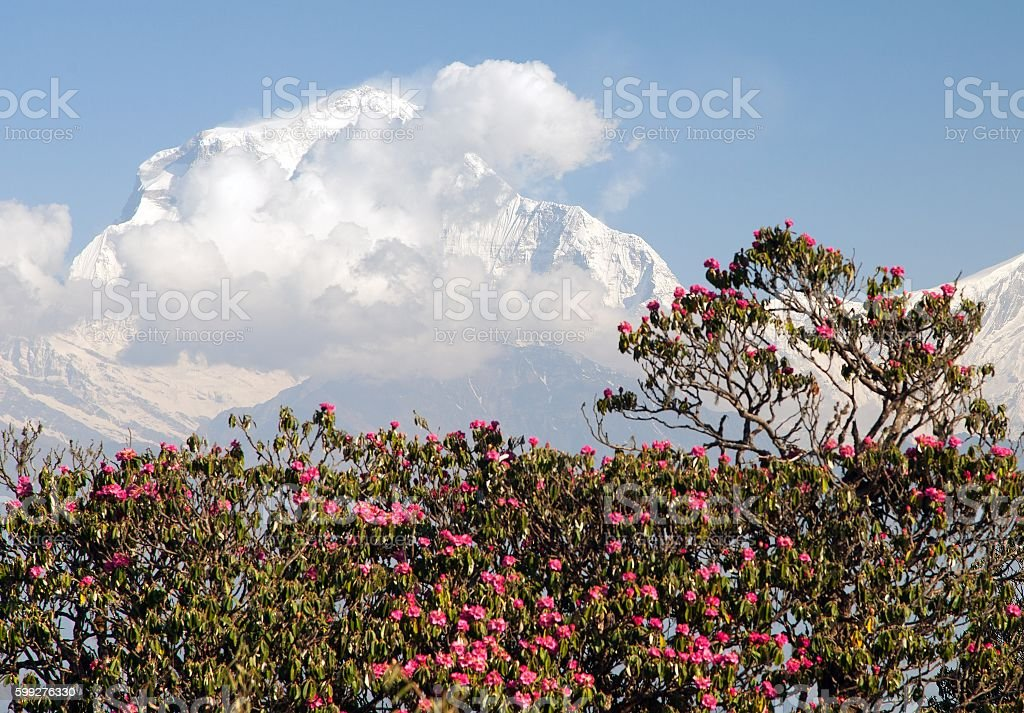 Mount Dhaulagiri from Poon Hill view point and red rhododendrons stock photo