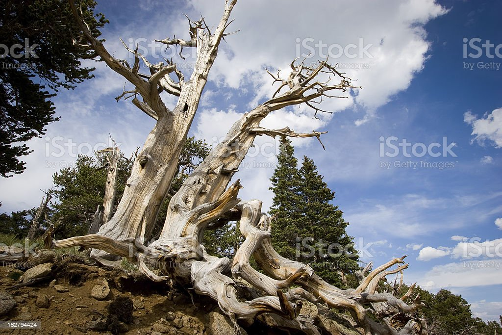 Mount Evans Bristelcone Pine Tree royalty-free stock photo