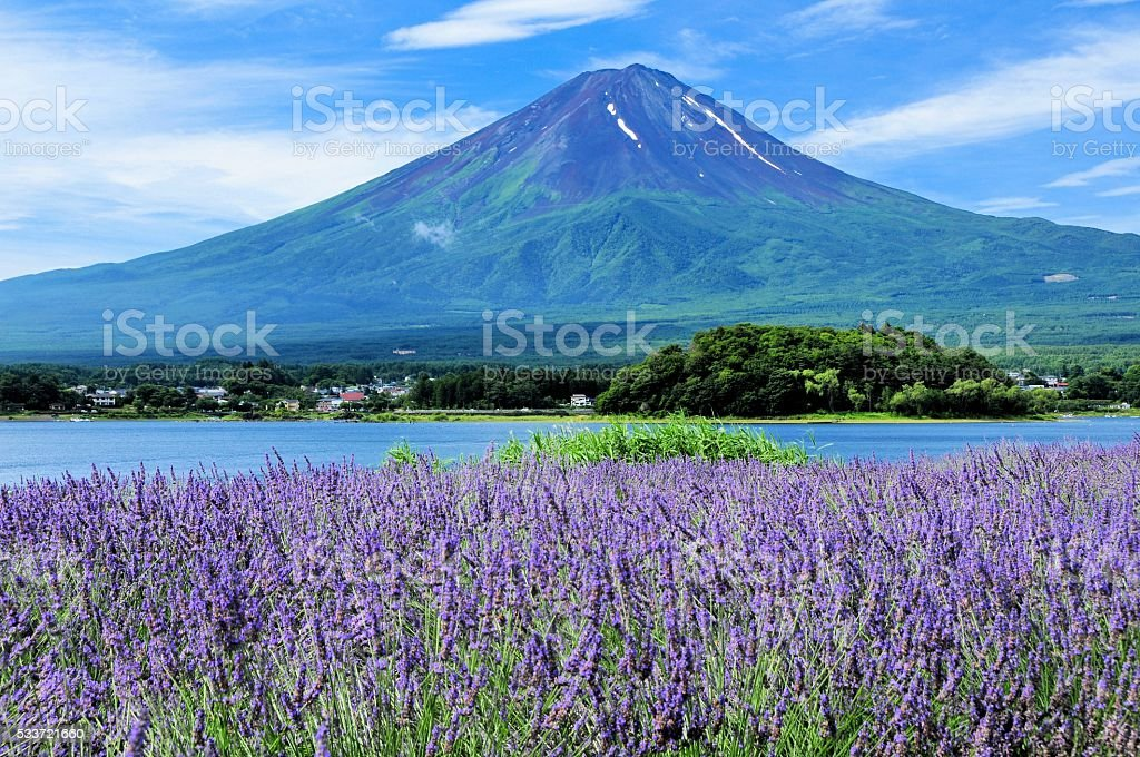 Mount Fuji and Lavender stock photo