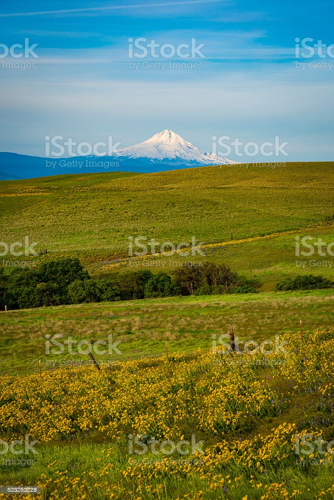 Mount Hood and spring flowers stock photo